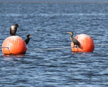 Cormorants hand out on the buoys bordering the swimming area of the beach.
