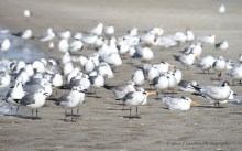 Royal terns and a variety of gulls hang out on the beach.