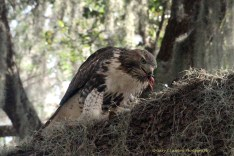 Immature Red-tailed Hawk Eating Squirrel