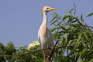 Male stands tall to attract a mate,