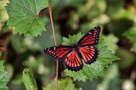 Viceroy Mimics Monarch