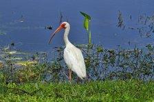 White Ibis Lake Edge