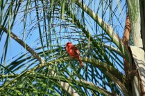 Cardinal in Palm Tree