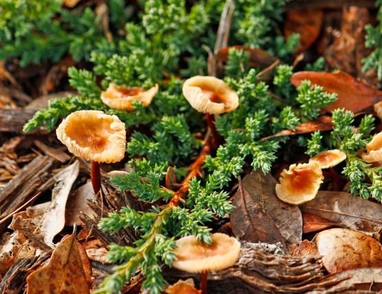 OrangeBrown Mushroom 2
