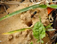 Solitary Bee Crawling To Tunnel