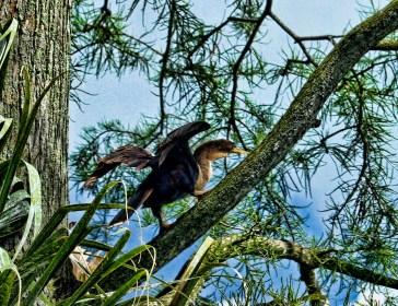 Climbing a branch above its nest.