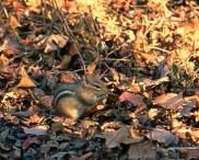 Chipmunk Woodland Floor