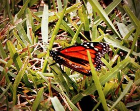 Fall Monarch