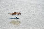 sanderlings-in-waves-running