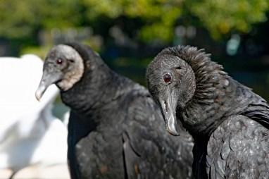 black-vulture-portrait-4