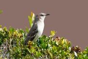 mocking-bird-4