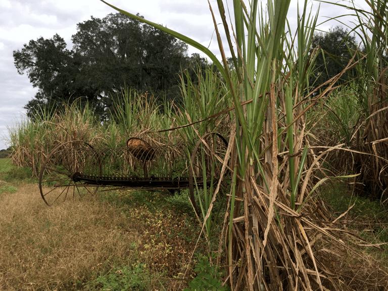Sugar cane grows on the Melton farm, ready for harvest.