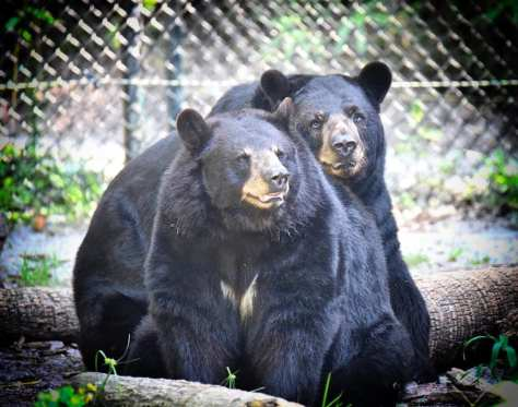Brutus and Biddy are black bear residents at the park. Photo by Joe Dube