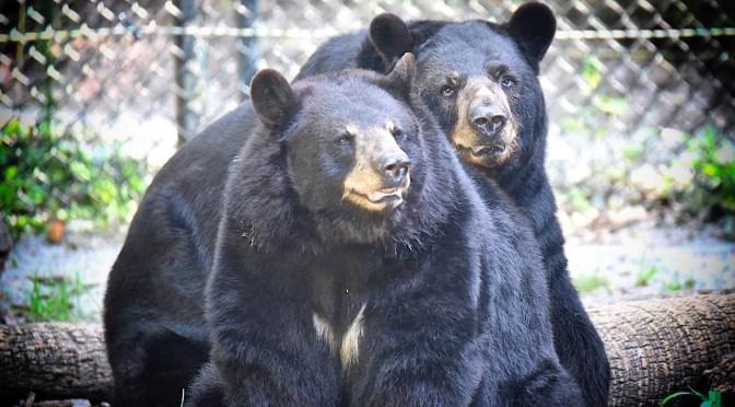 Wildlife Park Focuses on Florida Black Bears in June