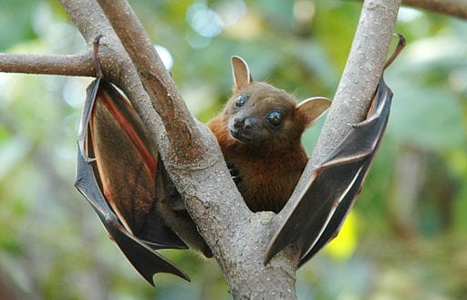 Lesser, Short Nosed Fruit Bat, Cynopterus Brachyotis.