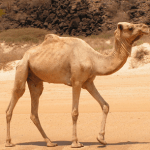 State animal of Rajasthan (Camel) complete detail – updated