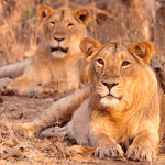 Indian Lion (Panthera leo persica) complete detail – updated