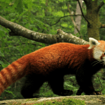 State animal of Sikkim (Red panda) complete detail – updated