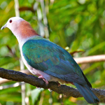 State bird of Tripura – complete detail – updated
