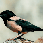 Rose colored starling (Pastor roseus) complete detail – updated
