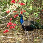 National bird of India (Peacock) complete detail – updated