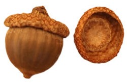 acorn-caps