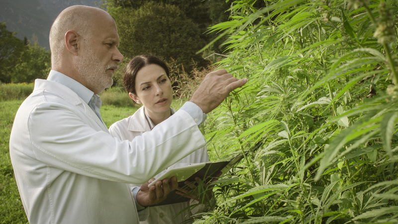 two scientist examining hemp plants