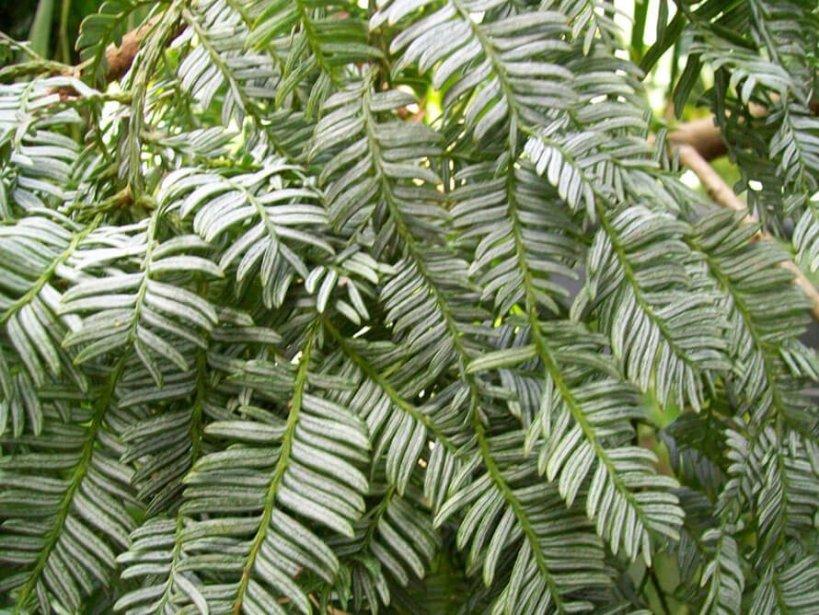 Drautabua (Acmopyle sahniana)