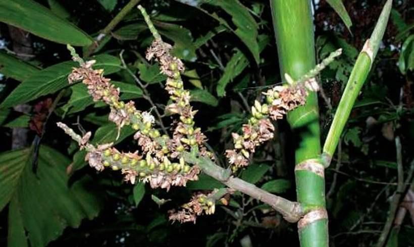 Balaka (Balaka macrocarpa)