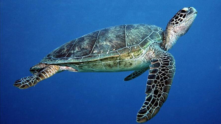 Green turtle (Chelonia mydas) - NatureFiji - MareqetiViti