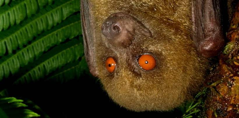 The Fijian Flying Fox (Mirimiri acrodonta)