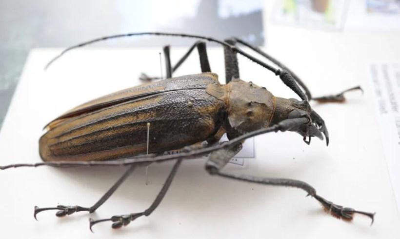 Giant Fijian Longhorn Beetle (Xixuthurus heros)