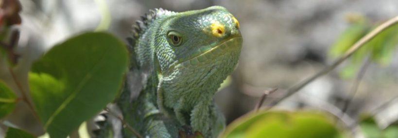 The Critically Endangered Fijian Crested Iguana