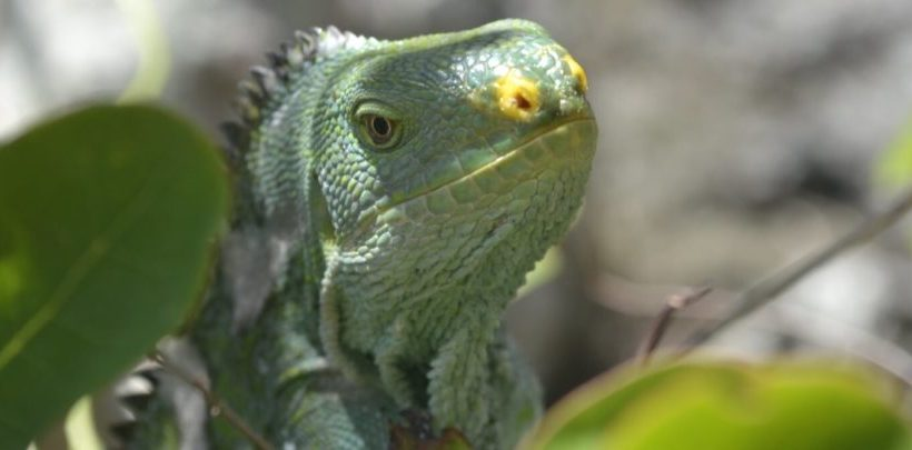 The Critically Endangered Fijian Crested Iguana