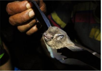 Bats of Fiji
