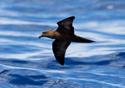 No Sign of the Fiji Petrel