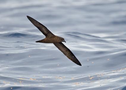 Landed Fiji Petrel Flies Off