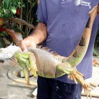 Biosecurity Declaration on Emergency Areas of American Iguana