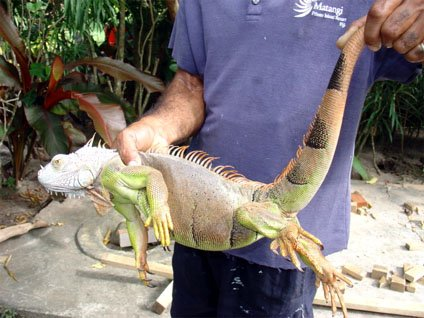 The Giant Invasive Iguana in Fiji