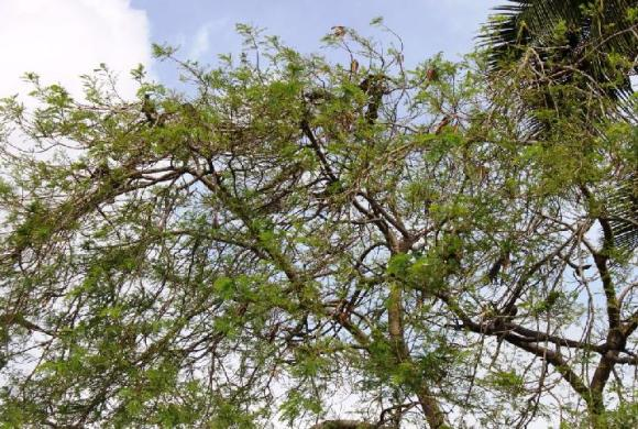 Over 60 iguanas were counted in this Delonix regia tree, a common urban landscaping species. Georgetown, Grand Cayman.