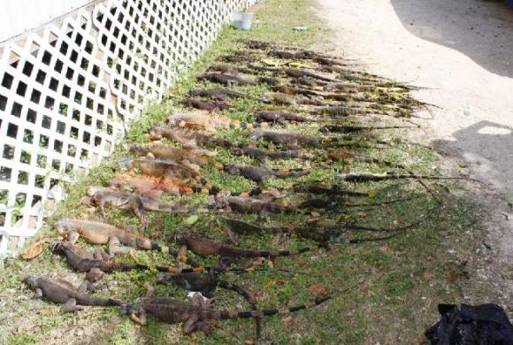 Cull from 100m of trees on fence line in less than 1 hr. More than 30 left snagged in trees