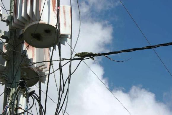 Power outages have been caused by iguanas short-circuiting power lines.