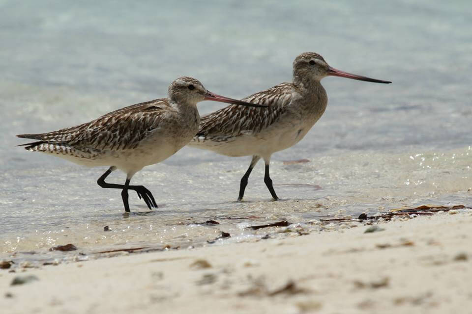 Migratory Shorebirds Spotting in Suva with Mark