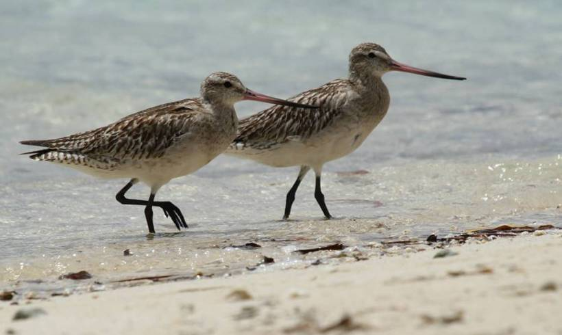 Migratory Shorebirds Spotting in Suva with Mark