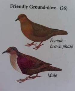 Friendly Ground Doves. Image courtesy of Dr. Dick Watling.
