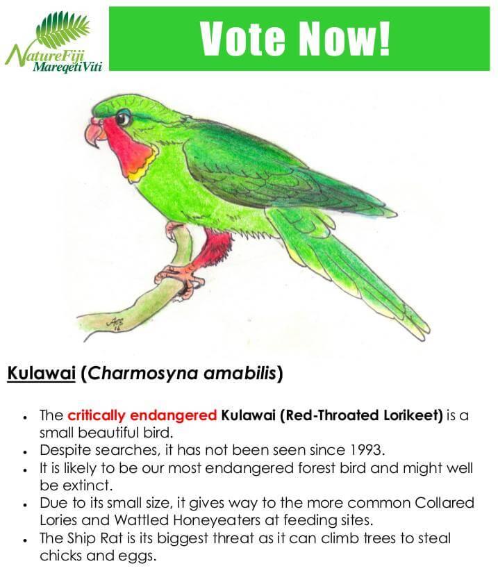 Kulawai (Charmosyna amabilis)