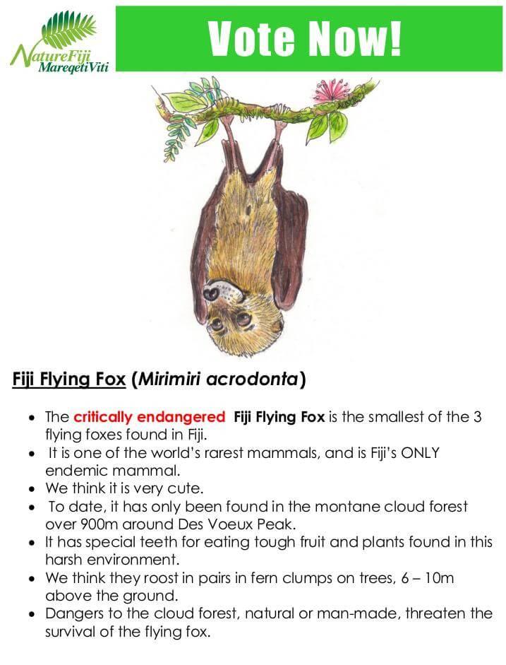Fiji Flying Fox (Mirimiri acrodonta)