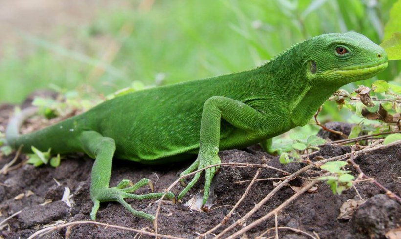Scientists Discover New Species of Fijian Iguana