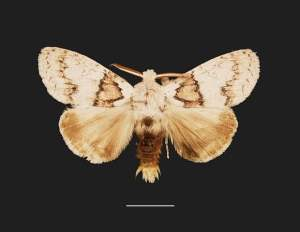 Calliteara fidjiensis is one of Fiji′s endemic macromoths. Approximately 50% of Fiji′s moths are endemic, and more are still to be discovered.