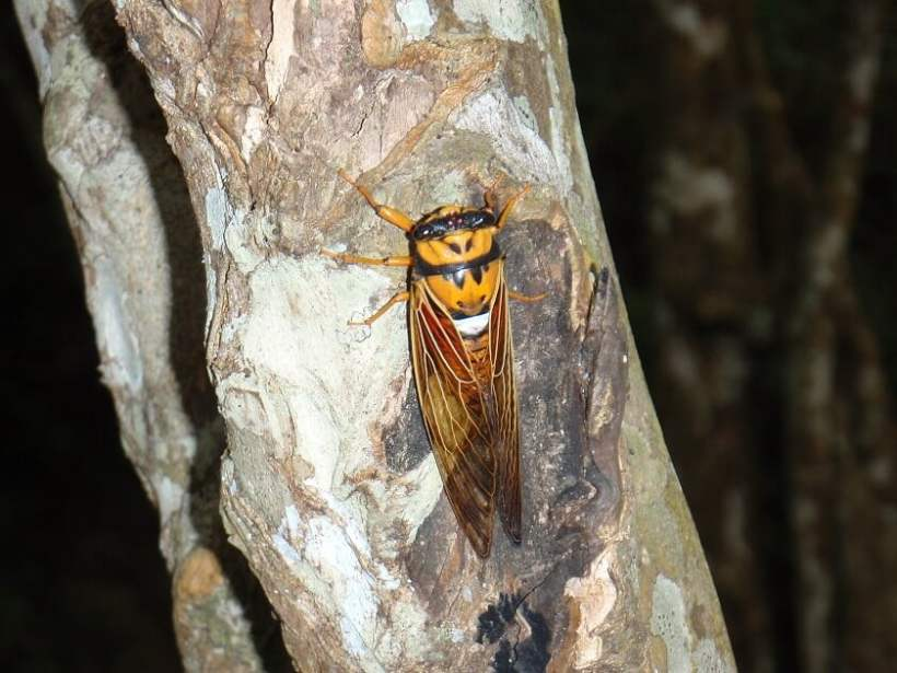 Fijian Cicada (Raiateana knowlesi), Nanai